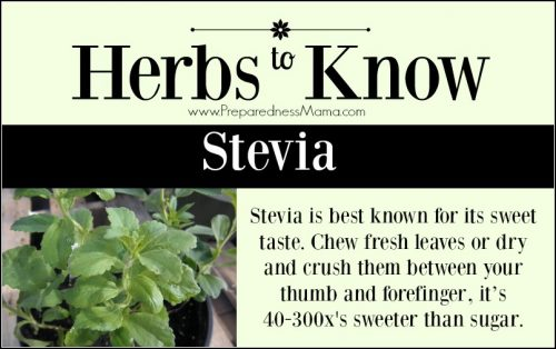 Herbs to Know Stevia: This easy to grow tender perennial will give you years of fresh leaves to use in cooking and herbal preparations. | PreparednessMama